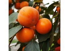 富光果业有限公司  专业供应水果 果树 优质柿树 斤柿